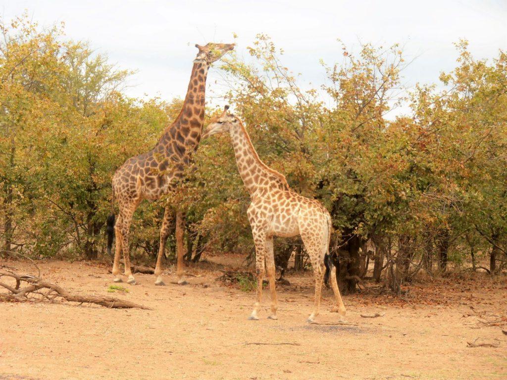 quanto costa un safari giraffe