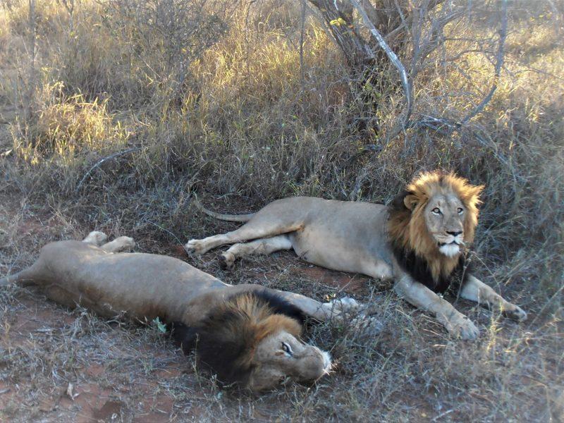 safari in africa leoni
