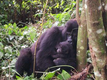 safari uganda gorilla di montagna