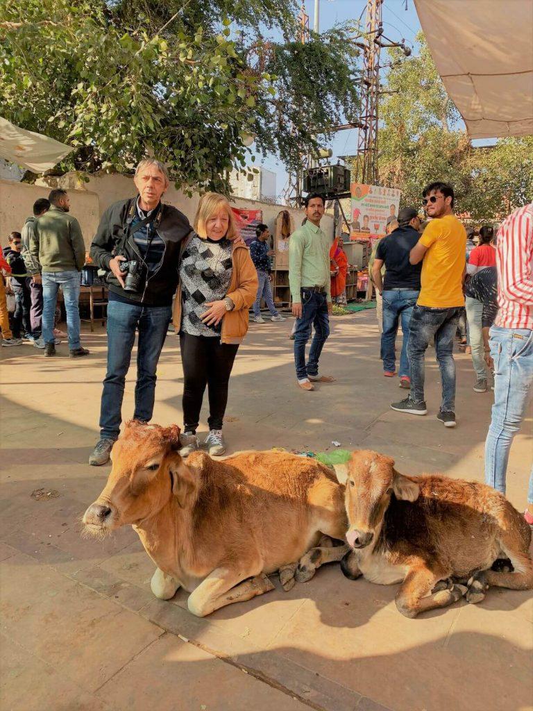 mucche viaggio in india